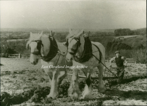 Ploughing with Shire Horses